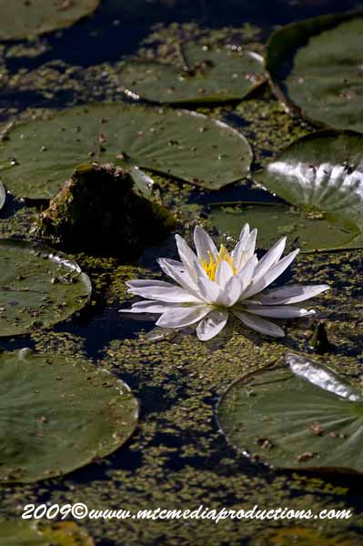 Waterlily-38