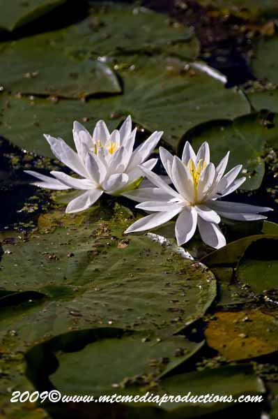 Waterlily-39