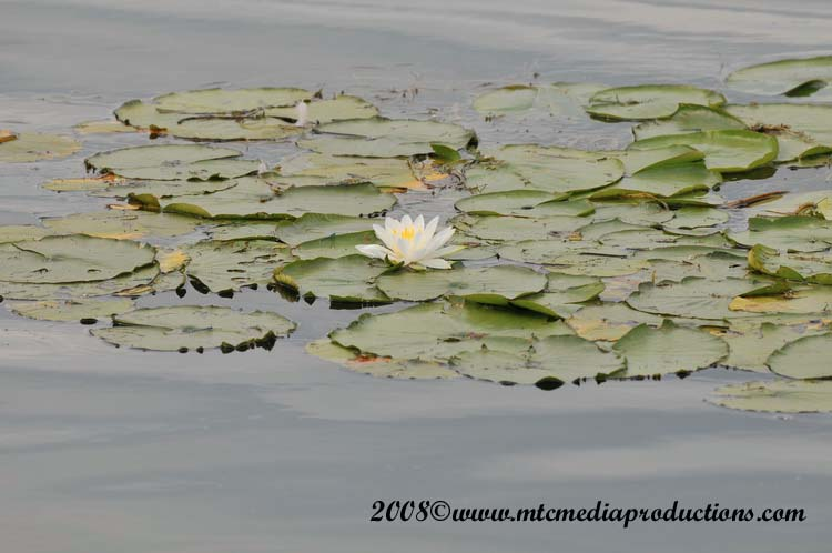 Waterlily-04