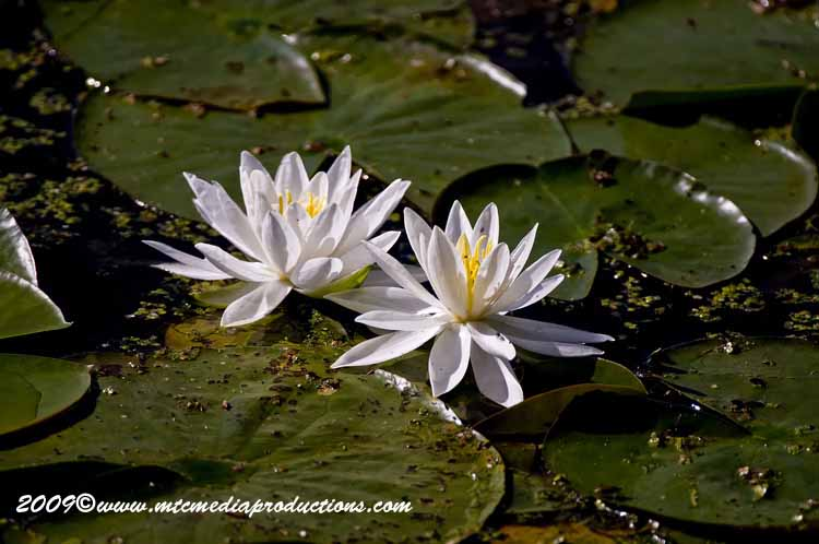 Waterlily-41