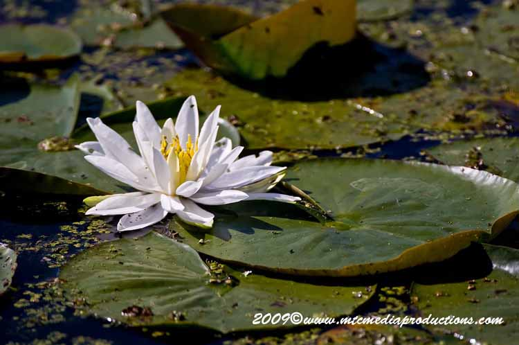 Waterlily-42