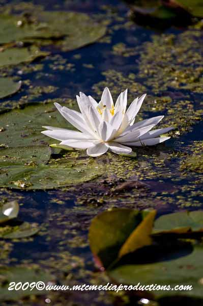 Waterlily-43
