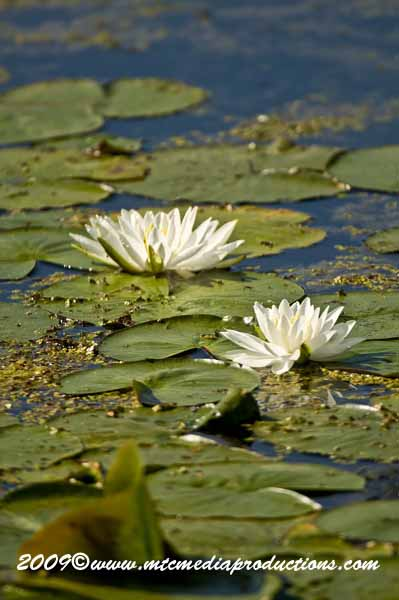 Waterlily-44
