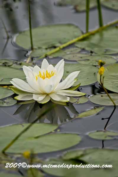Waterlily-45