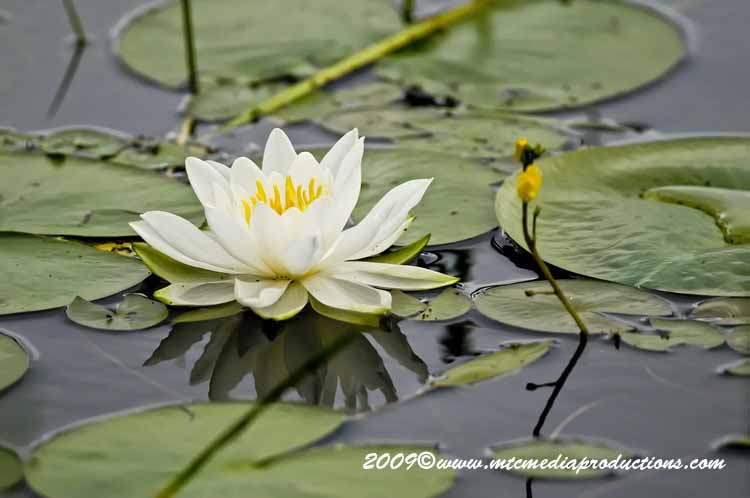 Waterlily-46