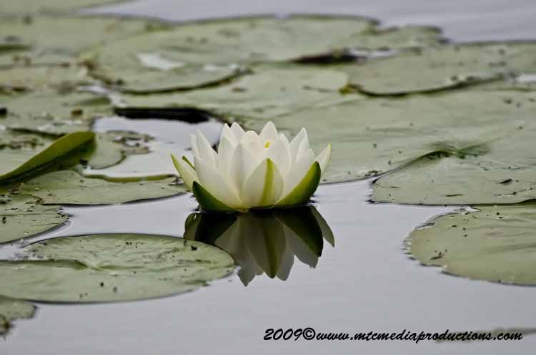 Waterlily-47