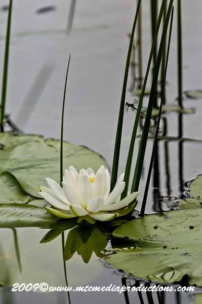 Waterlily-48