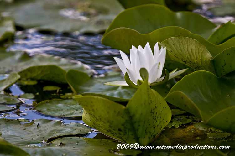 Waterlily-50