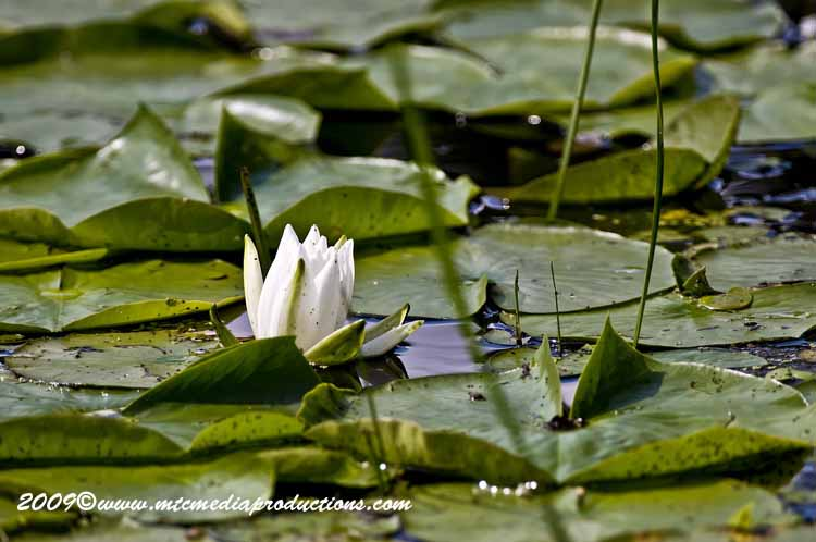 Waterlily-51