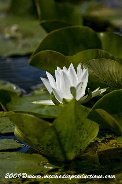 Waterlily-52