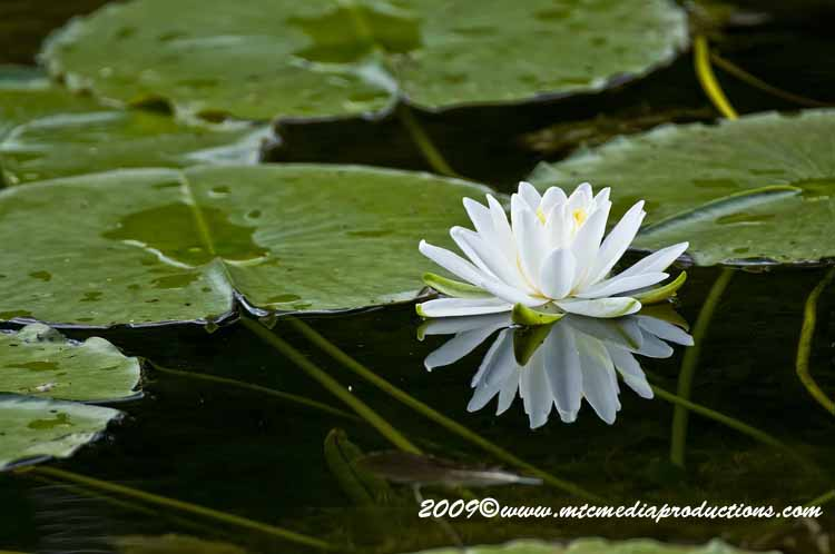 Waterlily-53