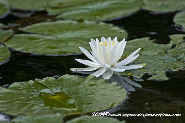 Waterlily-54
