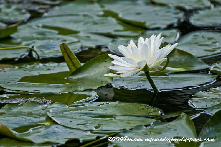 Waterlily-55