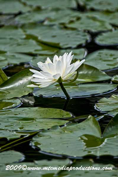 Waterlily-56