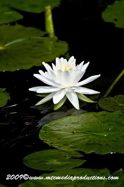 Waterlily-59
