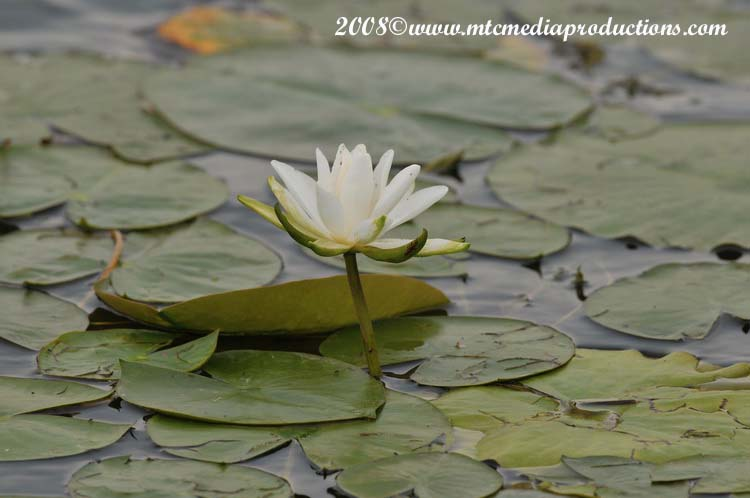 Waterlily-06