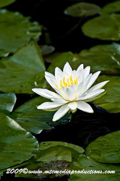 Waterlily-60