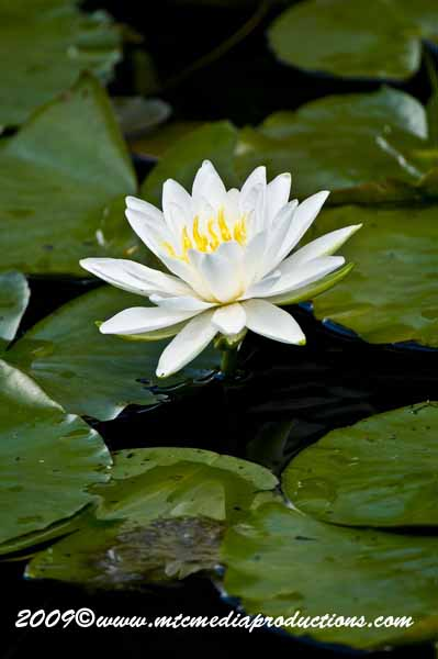 Waterlily-61