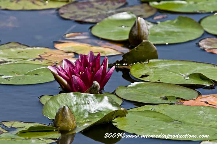 Waterlily-63