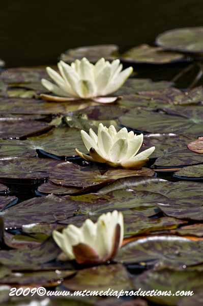 Waterlily-64