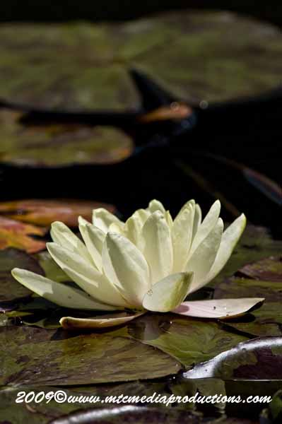Waterlily-67