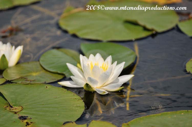 Waterlily-07