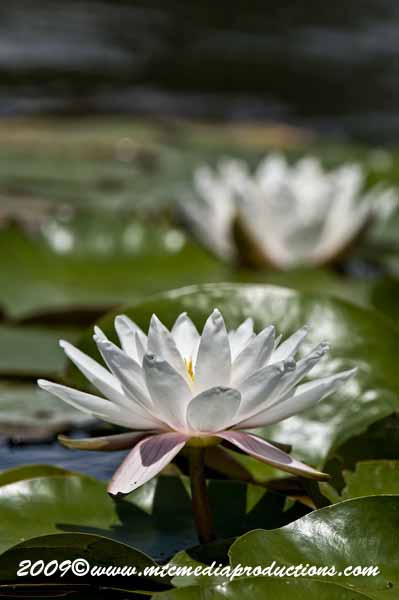 Waterlily-70
