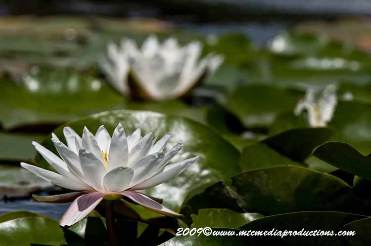 Waterlily-71