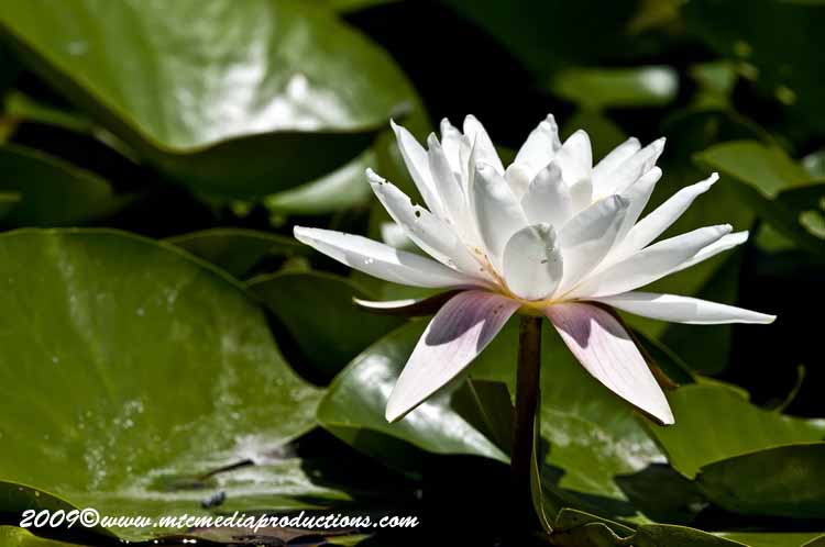 Waterlily-73