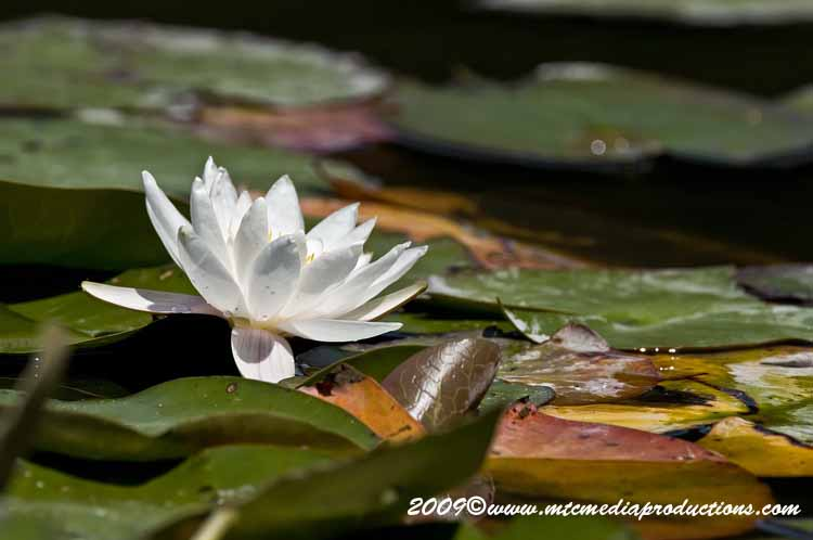 Waterlily-74