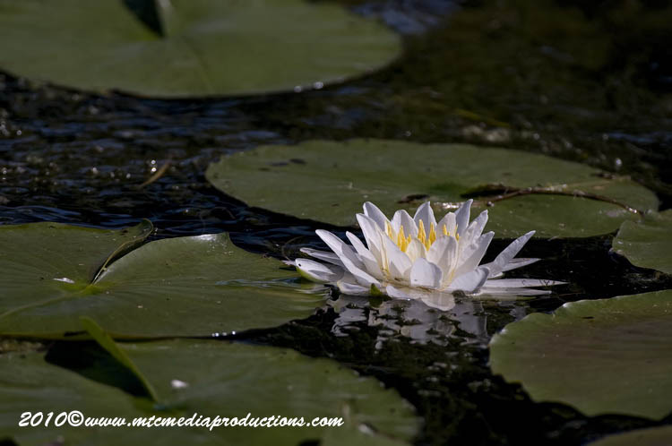 Waterlily-77