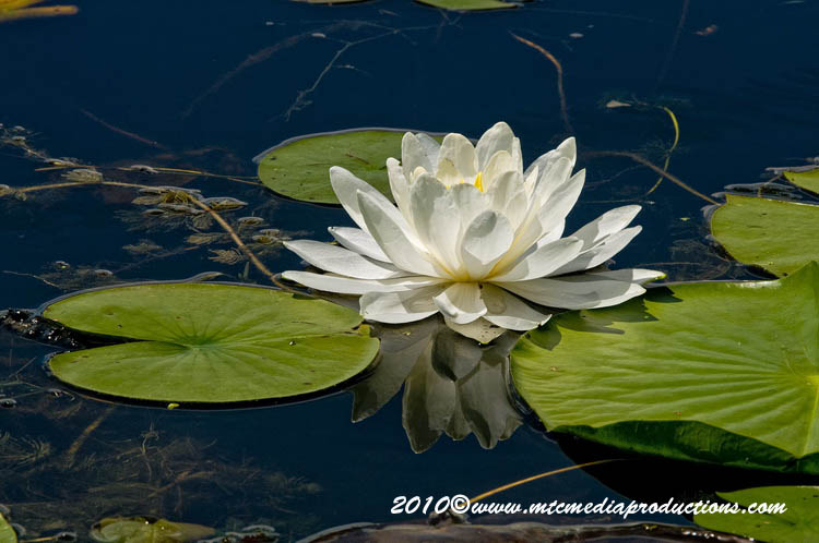 Waterlily-78