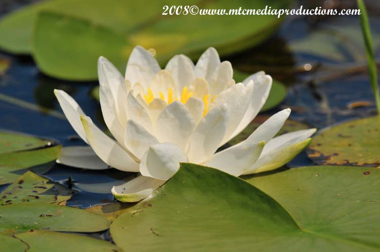 Waterlily-08