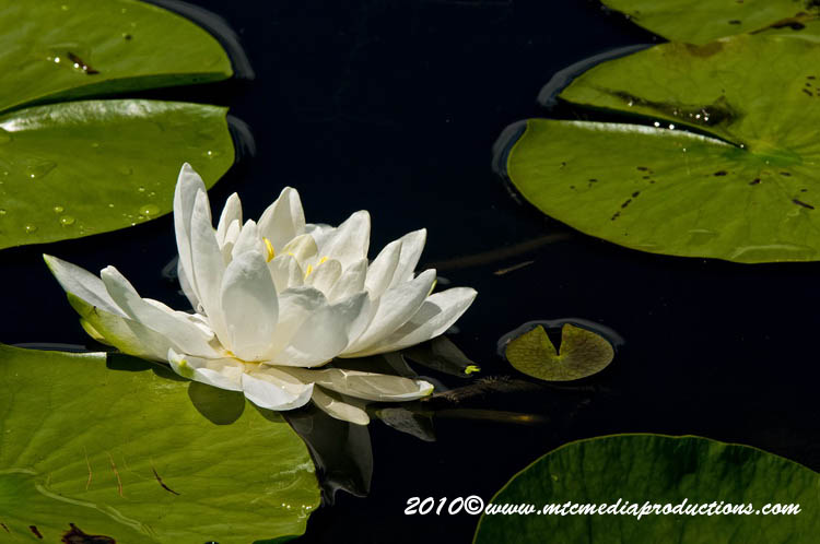 Waterlily-80