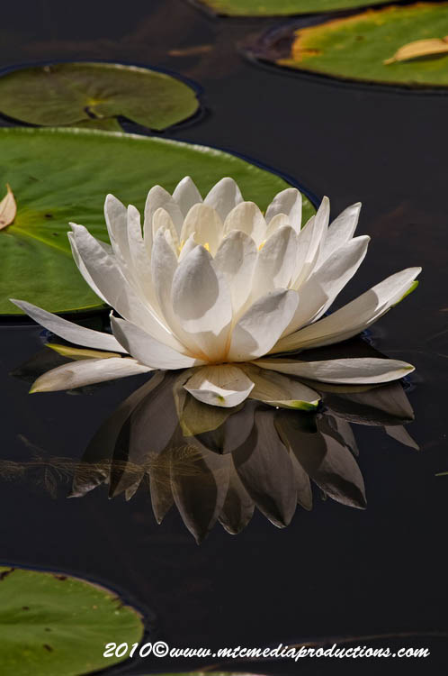 Waterlily-81