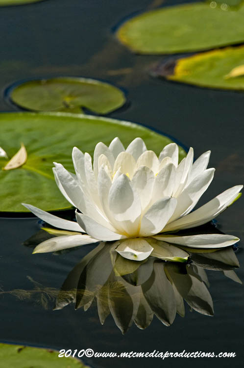 Waterlily-82