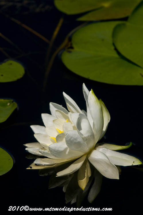 Waterlily-83