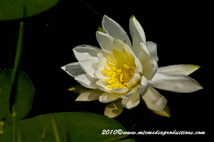 Waterlily-84