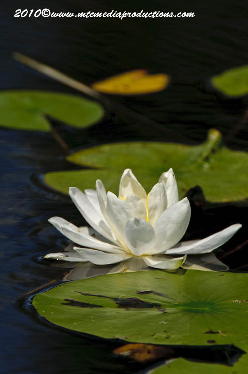 Waterlily-85