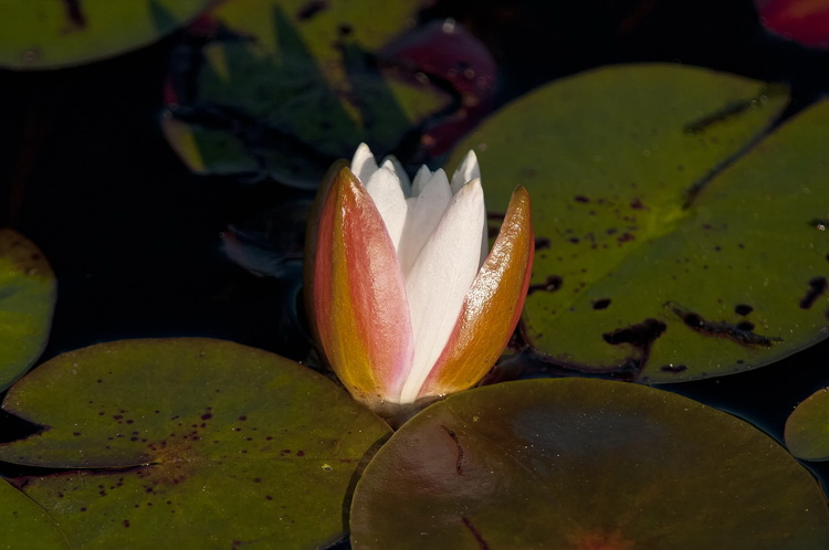 Waterlily-87