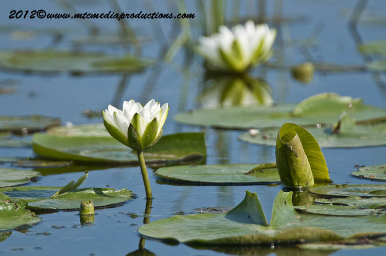 Waterlily-88