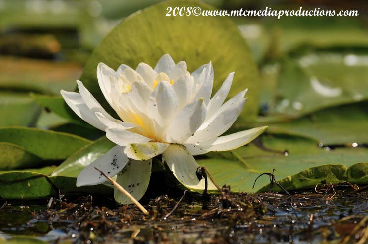 Waterlily-09