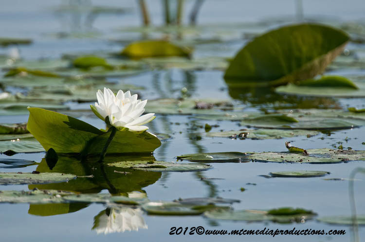 Waterlily-90