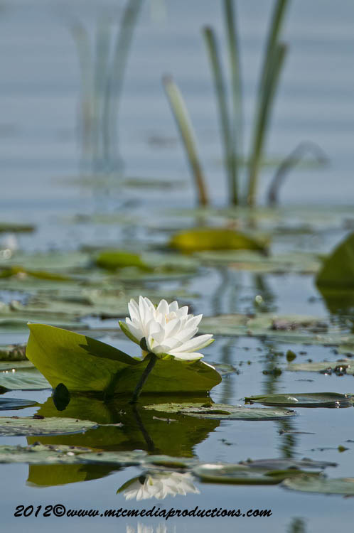 Waterlily-91