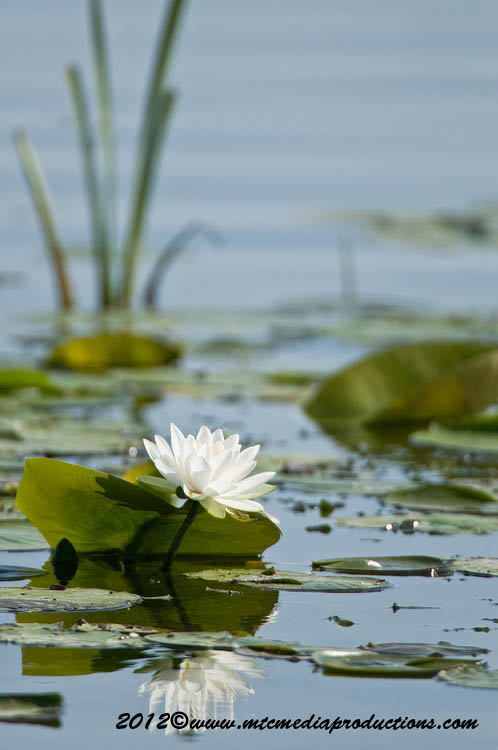 Waterlily-93