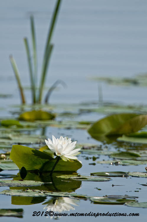 Waterlily-94