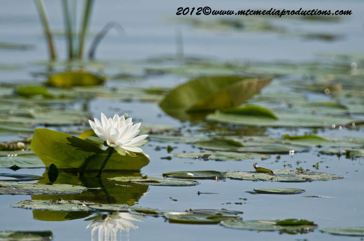 Waterlily-95