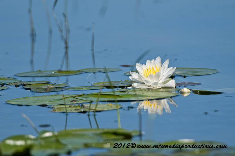 Waterlily-96