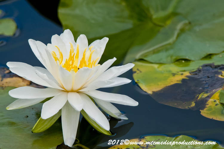 Waterlily-97