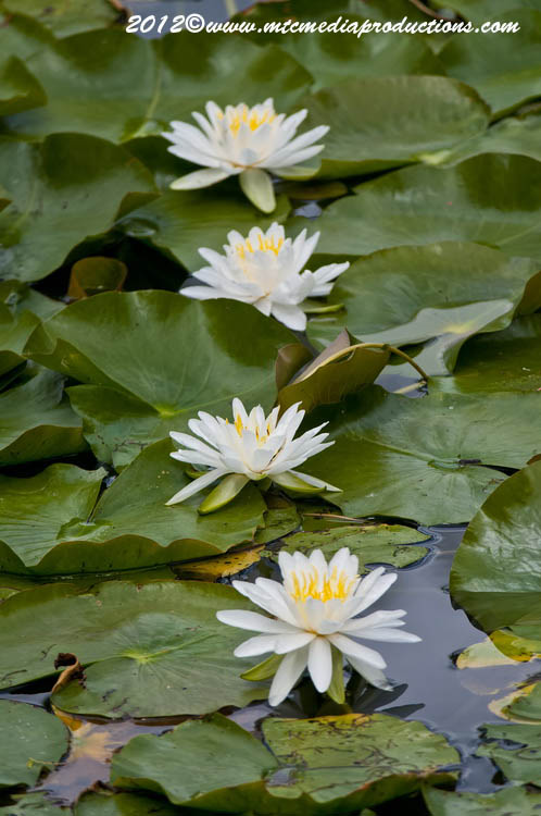Waterlily-99